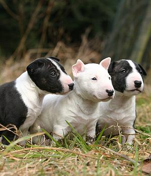 Bullterrier Information, Bilder, Preis