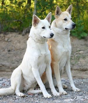 Canaan Dog Information, Bilder, Preis