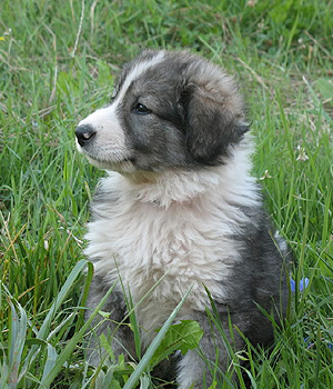 Carpathian Sheepdog Information, Bilder, Preis