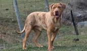 Catahoula Bulldog Information, Bilder, Preis