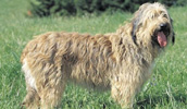 Catalan Sheepdog Information, Bilder, Preis