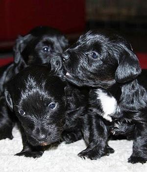 Cesky Terrier Information, Bilder, Preis