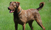 Chesapeake Bay Retriever Information, Bilder, Preis