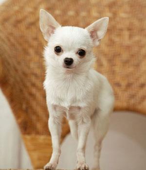 Chihuahua Information, Bilder, Preis