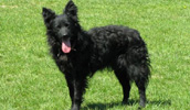 Croatian Sheepdog Information, Bilder, Preis