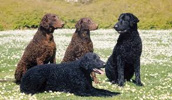 Curly Coated Retriever Information, Bilder, Preis