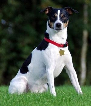 Danish Swedish Farmdog Information, Bilder, Preis