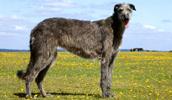 Deerhound Information, Bilder, Preis