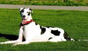 Deutsche Dogge Information, Bilder, Preis