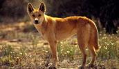 Dingo Information, Bilder, Preis
