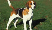 English Foxhound Information, Bilder, Preis