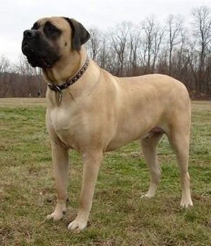 English Mastiff Information, Bilder, Preis