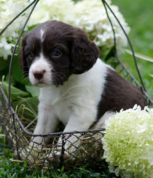 English Springer Spaniel Information, Bilder, Preis