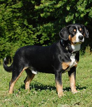 Entlebucher Sennenhund Information, Bilder, Preis