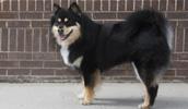 Finnischer Lapphund Information, Bilder, Preis