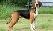 Finnischer Laufhund Information, Bilder, Preis