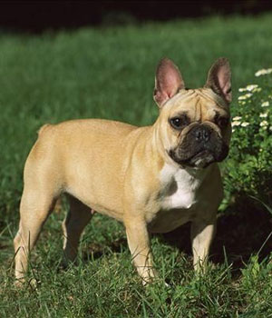 Französische Bulldogge Information, Bilder, Preis