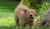 Goldendoodle Information, Bilder, Preis