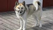 Grönlandhund Information, Bilder, Preis