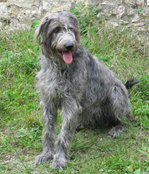 Irischer Wolfhound Information, Bilder, Preis