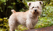 Irish Glen of Imaal Terrier Information, Bilder, Preis