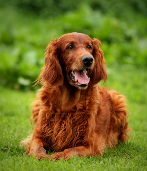 Irish Red Setter Information, Bilder, Preis
