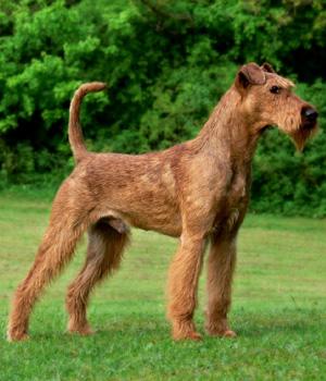 Irish Terrier Information, Bilder, Preis