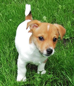 Jack Russell Terrier Information, Bilder, Preis