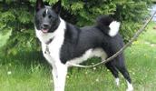 Karelischer Bärenhund Information, Bilder, Preis