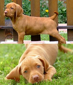 Kurzhaariger Ungarischer Vorstehhund Information, Bilder, Preis