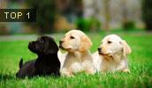 Labrador Retriever Information, Bilder, Preis
