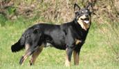 Lappländischer Rentierhund Information, Bilder, Preis