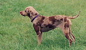 Louisiana Catahoula Leopard Dog Information, Bilder, Preis