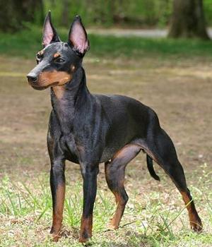 Manchester Terrier Information, Bilder, Preis