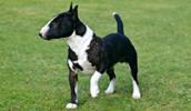 Miniature Bull Terrier Information, Bilder, Preis
