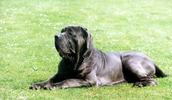 Neapolitan Mastiff Information, Bilder, Preis