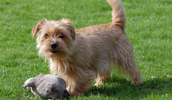 Norfolk Terrier Information, Bilder, Preis
