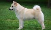 Norwegischer Buhund Information, Bilder, Preis