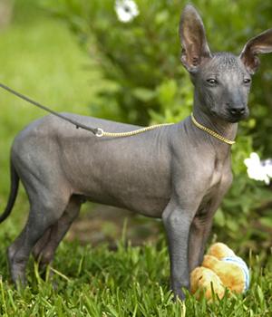 Peruanischer Nackthund Information, Bilder, Preis