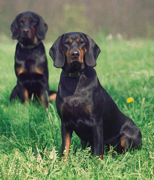 Polish Hunting Dog Information, Bilder, Preis