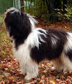 Polish Lowland Sheepdog Information, Bilder, Preis
