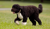 Portuguese Water Dog Information, Bilder, Preis