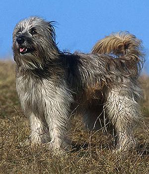 Pyrenean Shepherd Information, Bilder, Preis