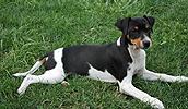 Rat Terrier Information, Bilder, Preis
