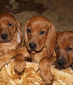 Redbone Coonhound Information, Bilder, Preis