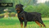 Rottweiler Information, Bilder, Preis
