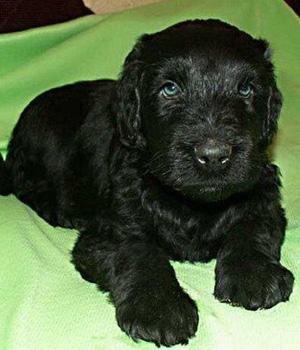 Russischer Schwarzer Terrier Information, Bilder, Preis