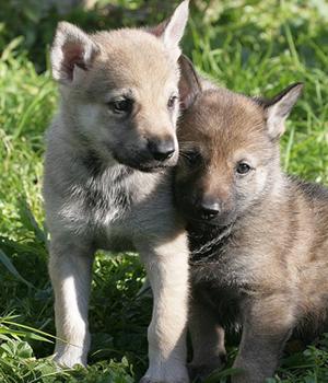 Saarlooswolfhund Information, Bilder, Preis