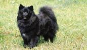 Schwedischer Lapphund Information, Bilder, Preis