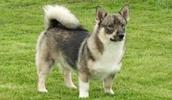 Schwedischer Vallhund Information, Bilder, Preis
